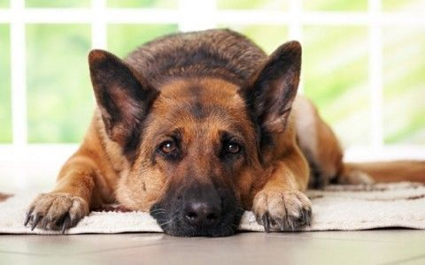 Precauciones-para-tener-perros-grandes