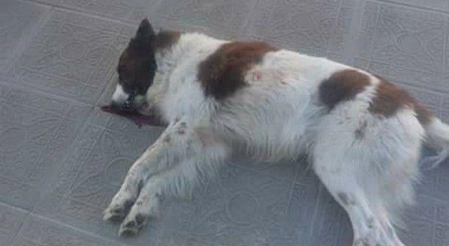 perro muerto en la paz