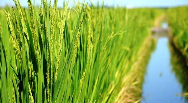 arroceros arroz
