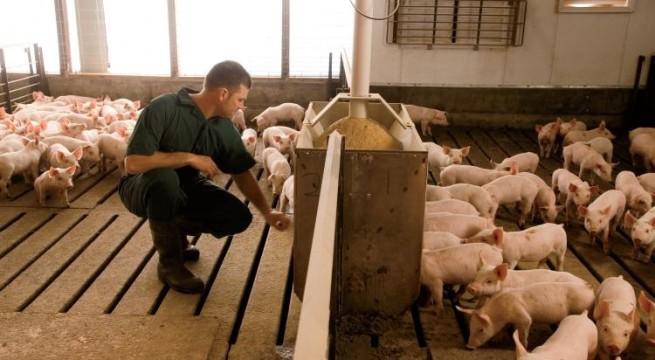 trabajo-granjas-porcinas